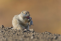 Arctic ground squirrel feeds on rodent, Arctic North Slope, Alaska.