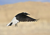 White-crowned Black Wheatear - Oenanthe leucopyga