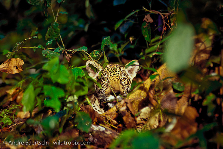 Jaguar (Panthera onca), juvenile in lowland tropical rainforest, Manu National Park, Peru.