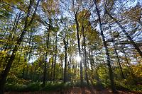 Autumn Beech, Stoke Wood, Oxfordshire.