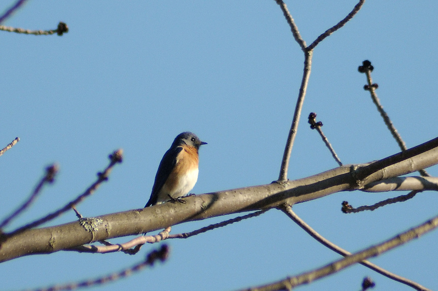 A Bluebird, on a bluebird day !