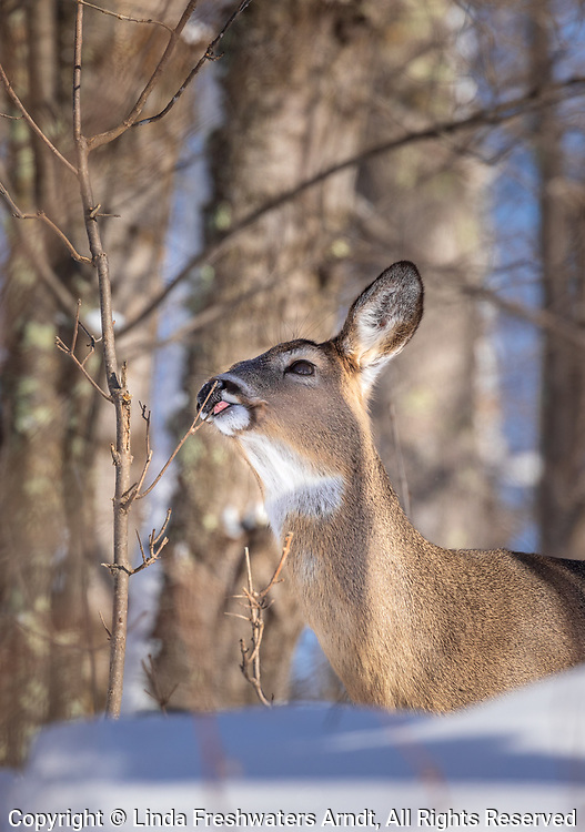 White-tailed doe working a licking branch on a cold winter's day.