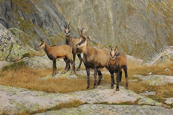 Chamois (Rupicapra rupicapra), group standing, Grimsel, Bern, Switzerland