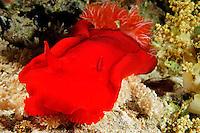 Hexabranchus sanguineus, Spanische Taenzerin, Spanish dancer, Insel Sirnaka, Rotes Meer, Ägytpen, Sirnaka Island, Red Sea, Egypt