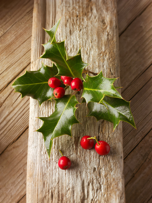 Holly leaves with red berries - Ilex aquifolium