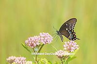 03029-01507 Spicebush Swallowtail Butterfly (Papilio troilus) on Swamp Milkweed (Asclepias incarnata), Marion Co., IL
