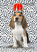 Xavier, ANIMALS, REALISTISCHE TIERE, ANIMALES REALISTICOS, dogs,king,crown, photos+++++,SPCHDOGS991,#a#