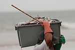 In Puerto Lopez Ecuador men carry the fish from a little fishing boat to a truck for further transport. The frigate birds try to get their share, reason why the men also carry a stick.
