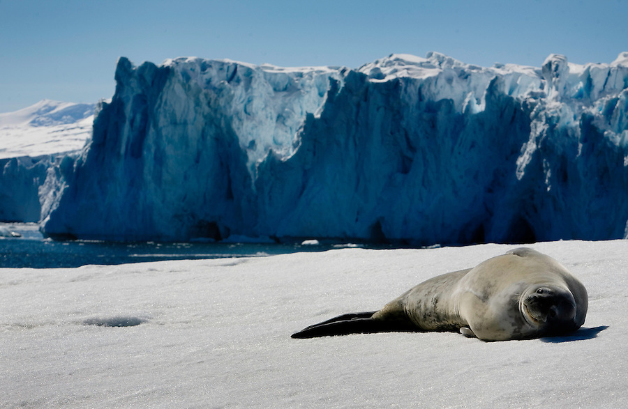 Pourquoi Pas Island, Antarctica, January 8, 2008 - A sea lion basks in the sun on the fast ice on Pourquoi Island. The continent of Antarctica is has no indigenous people, no permanent inhabitants and is not the sovereign territory of any nation. It does however have politics.  It is governed by an international agreement known as the Antarctic Treaty, which has been signed by 45 countries. The treaty stipulates that the continent can only be used for scientific research, which must be shared.
