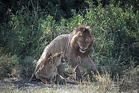 Just after mating, a lion and lioness exchange growls