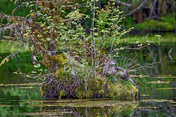 North American river otter (Lontra canadensis) on old (rotted) moss covered tree stump in old beaver pond, Pacific N.W., spring.