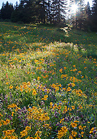 Animas Forks, CO<br /> Afternoon sun breaking through trees onto an alpine wildflower meadow