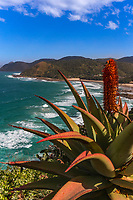 WP40739-D. Aloe vera (Aloe ferox?) plant along remote and rugged Wild Coast on the eastern Cape. South Africa, Indian Ocean.<br /> Photo Copyright © Brandon Cole. All rights reserved worldwide.  www.brandoncole.com