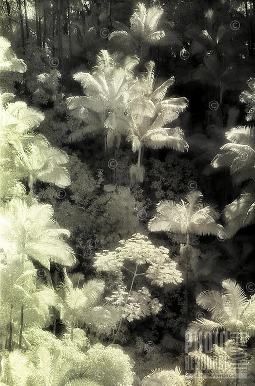 IR palms/Hamakua Coast