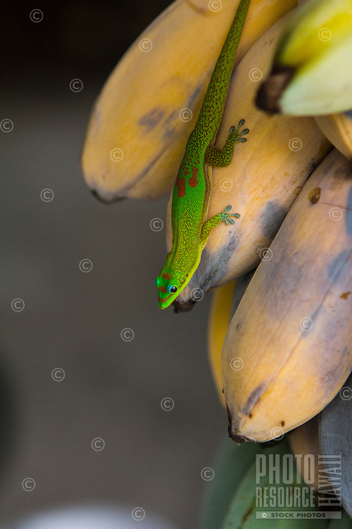 Colorful gold dust day gecko on bananas on the Big Island.