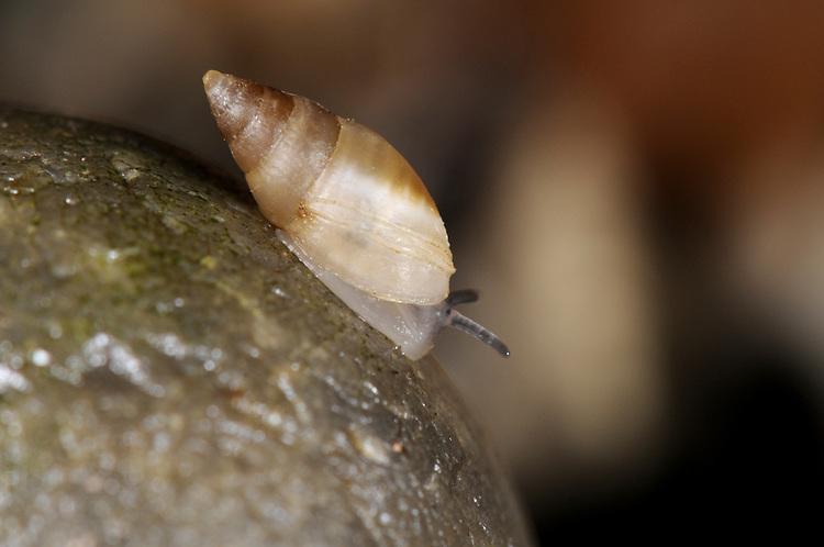 Mouse-eared Snail - Myosotella myosotis