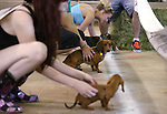 Dogs wait at the start line at the Weiner Dog Races at the Reno Rodeo in Reno, Nev., on Saturday, June 28, 2014.<br /> Photo by Cathleen Allison