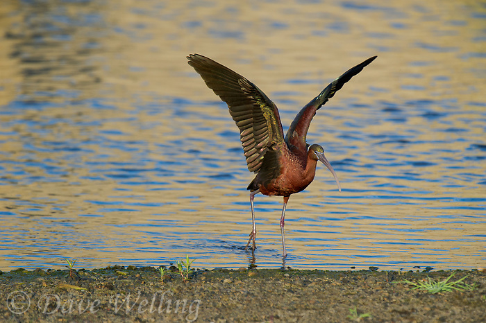 550100024 a wild glossy ibis plegadis falcinellus in breeding plumage performs a wing stretch along the los angeles river in the sepulveda basin in los angeles county california approximately 1500 miles west of its normal range
