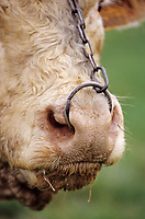 Europe/France/89/Yonne/L'Isle en Serein: Taureau d'élevage Charolais de Jean-Louis Riotte