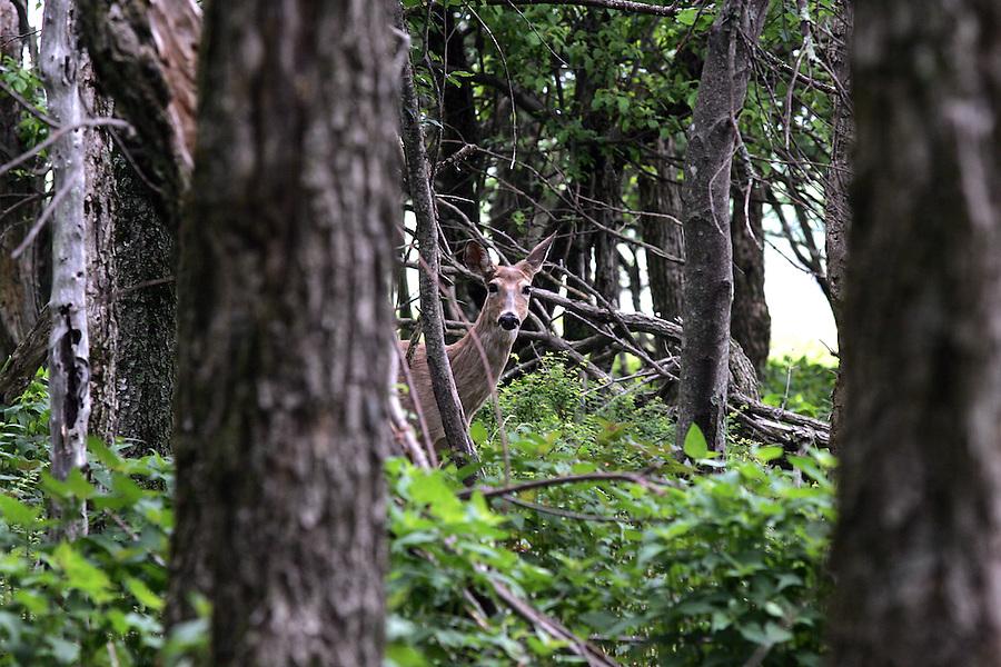 deer woods forest Shenandoah 6-04-06. Photo/Andrew Shurtleff