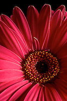 Close-up of petals of pink Gerbera jamesonii, Barberton daisy, Vancouver, BC