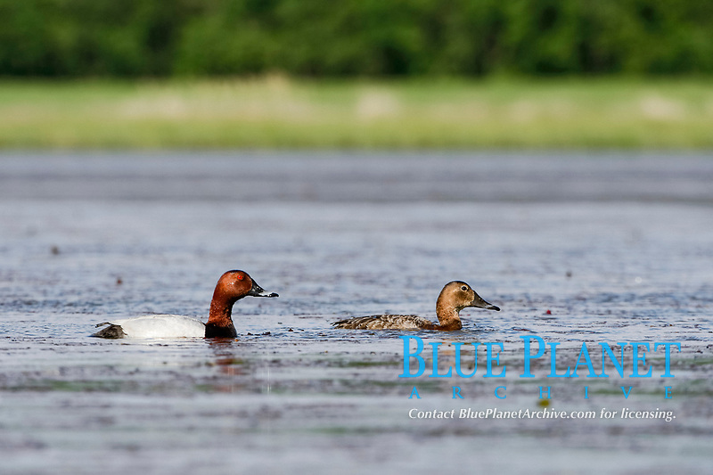 common pochard, Aythya ferina, adult male and female, in a swamp in La Dombes, Ain, France, Europe
