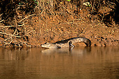 Pantanal, Mato Grosso, Brazil. Cayman entering the water at the edge of the river.