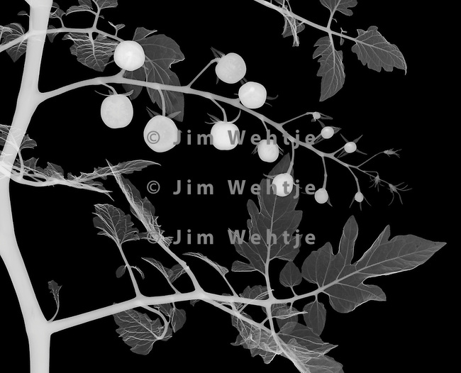 X-ray image of a cherry tomato plant midsection (white on black) by Jim Wehtje, specialist in x-ray art and design images.