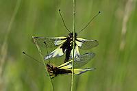 Libellen-Schmetterlingshaft, Schmetterlingshaft, Paarung, Pärchen, Libelloides coccajus, Ascalaphus coccajus, Ascalaphus libelluloides, owly sulphur, owlfly, l'Ascalaphe soufré, Schmetterlingshafte, Ascalaphidae, owlflies