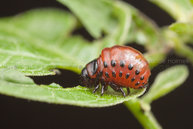 A Colorado Potato Beetle (Lepitinotarsa decemlineata) larva eats a leaf.