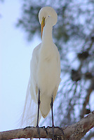 A wild Great Egret (Casmerodius albus) seen in a tree cleaning feathers, at a park in the middle of Tucson Arizona on a spring day.