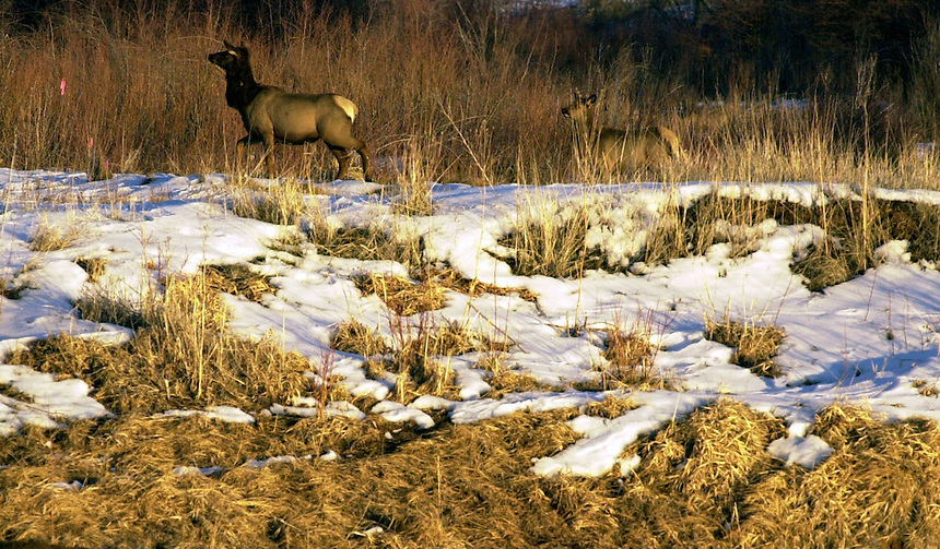Elk graze north of Durango in 2003.