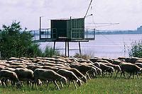 Europe/France/Aquitaine/33/Gironde/Env de Pauillac: Guy Regnier berger et son troupeau de moutons et agneaux de Pauillac sur les berges de la Gironde (AUTO N°350)
