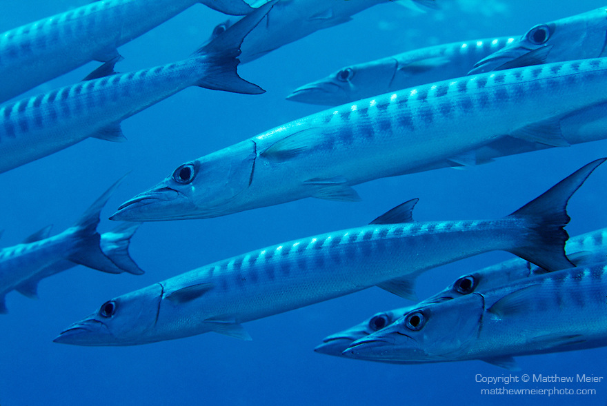 Milne Bay, Papua New Guinea; Chevron Barracuda (Sphyaena qenie), also known as Blackfin Barracuda, to 100 cm (3 ¼ ft.), form large schools, live in seaward reefs to 50 meters, found in Red Sea and E. Africa to Panama, S.W. Japan to Australia , Copyright © Matthew Meier, matthewmeierphoto.com