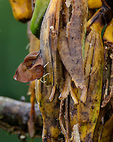 """Dead leaf butterfly or Leaf Wing Butterfly (Zaretis sp.) or dead leaf mimic butterfly.  These butterflies mimic """"dead leaves"""" to camouflage themselves from predators.  Central American tropics (Costa Rica).  This one is on banana skins at a bird feeder."""