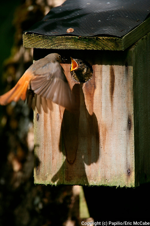 Common redstart, Phoenicurus phoenicurus, feeding young at nestbox, chick, flight, flying, peeping out of hole, garden. 22/06/2006.