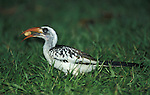 Western Red Billed Hornbill, with monkey nut in beak, fed by tourists, Tockus kempi, on grass, West Africa.