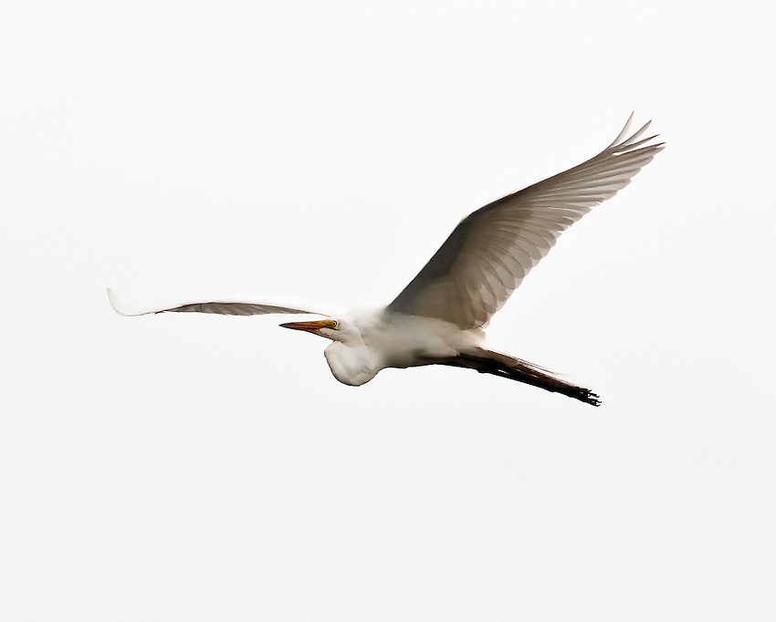 Great egret flying over the Currituck Sound