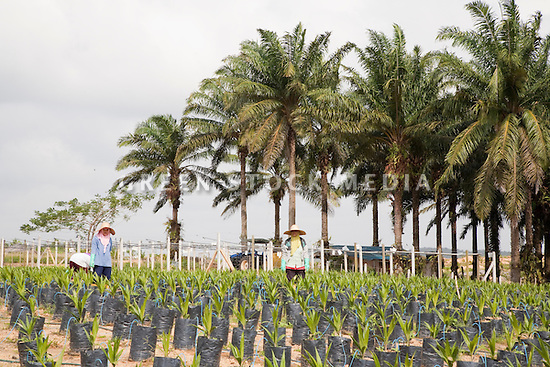 Female workers tending to young oil palms in the nursery with large palm trees in background. The Sindora Palm Oil Plantation, owned by Kulim, is green certified by the Roundtable on Sustainable Palm Oil (RSPO) for its environmental, economic, and socially sustainable practices. Johor Bahru, Malaysia