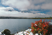 Red barberry bush at Vermillion Lake in Banff National Park