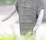 08.06.2011,Tiergarten Schoennbrunn, Wien, AUT, Chronik, im Bild Stoßzaehne Elefant // elephant tusks,  chronicle, AUT, Vienna, zoological garden Schoennbrunn, 2011-08-06, EXPA Pictures © 2011, PhotoCredit: EXPA/ M. Gruber