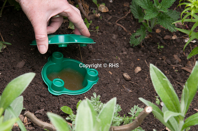 Setting a manufactured slug trap into garden soil close to vulnerable crops.