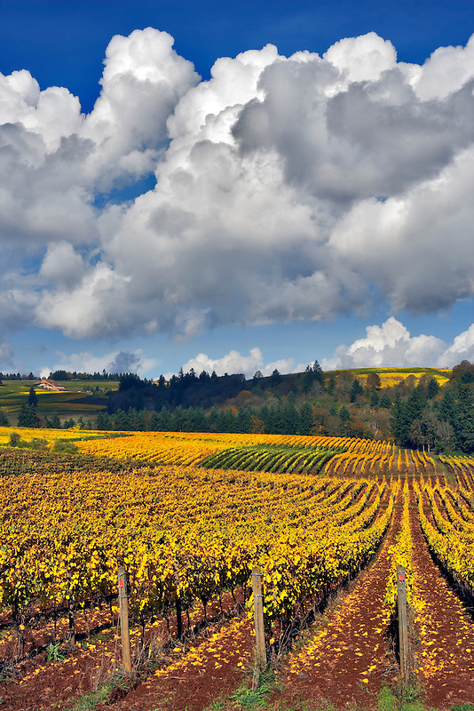 Fall colored grapes and cumulous clouds. Sokol Blosser Vineyards. Oregon