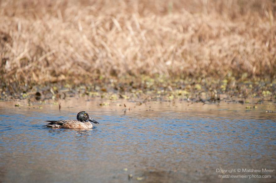 Columbia Ranch, Brazoria County, Damon, Texas; a Northern Shoveler (Anas clypeata) duck swimming on the surface of a slough