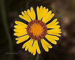 Red Dome Blanketflower (Gaillardia pinnatifida), Yavapai County, Arizona