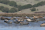 Harbor seals at Elkhorn Slough