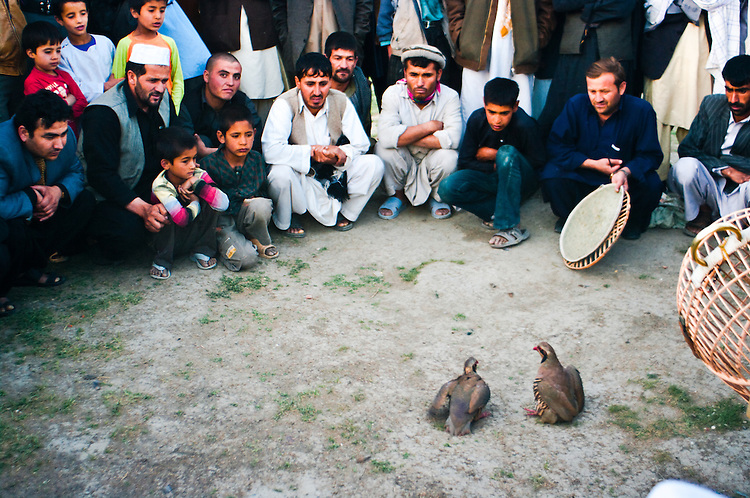 Kowk Fighting is one of Afghanistan's cherished hobbies. Kowk are specially bred fighting partridges. <br />