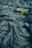 Phoehoe lava and kkupukupu or sword fern<br />