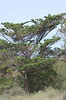 Echte Zypresse, Trauerzypresse, Säulenzypresse, Italienische Zypresse, Mittelmeer-Zypresse, Cupressus sempervirens, Mediterranean Cypress, Italian Cypress, Tuscan Cypress, Graveyard Cypress, Pencil Pine, Mittelmeer, Macchia, mediterran