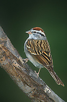 578698001 a wild chipping sparrow spizella passerina perches on a mesquite tree log in the rio grande valley of south texas united states